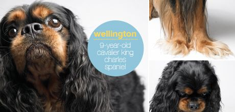 Wellington isn't only the Dog-in-Chief for America's fastest growing pet insurance, Petplan — he's also a client. From chronic allergies to bladder stones and mitral valve disease (a genetic heart disease that affects more than half of all Cavaliers by age 5), Welly has toyed with a number of health issues over the past nine years.