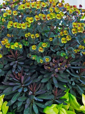 Euphorbia 'Blackbird' is a good option. Stays compact and works great with succulents for front planting bed on S. San Antonio.