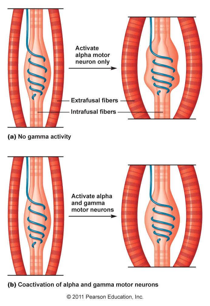 The sensitivity of this stretch receptor is adjusted by gamma motor neurons which innervate these contractile fibers. When the muscle is stretched, the intrafusal fibers detect this stretch. When the muscle contracts the gamma motor neuron fires and increases the tension on the intrafusal fibers. In this way the sensitivity of the muscle spindles resets to maintain its sensitivity to a change in the muscle length.