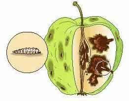 National Gardening Association Apple tree care