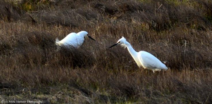 Snowy Egrets in Back Bay behind Brigantine Island.