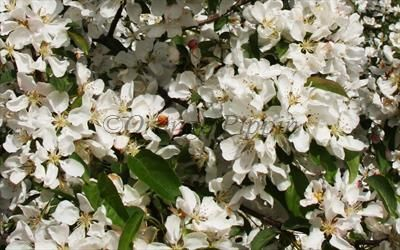 Malus Donald Wyman crab-apple trees for sale | Buy online