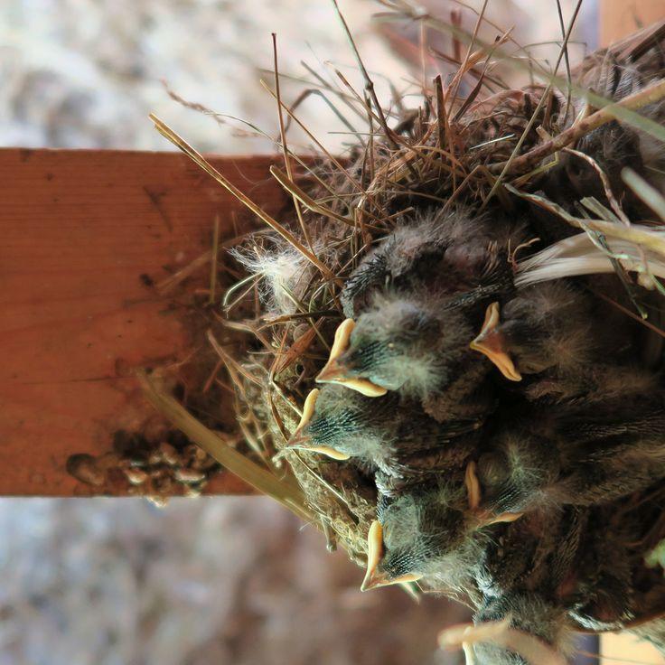 Małe jaskółeczki w obórce Siedliska na Wygonie