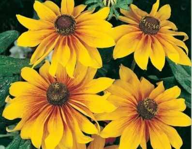 Shop for Gloriosa Daisy Seeds by the Packet or Pound.  EdenBrothers.Com offers Hundreds of Seed Varieties, Including the Finest and Freshest Glorio...