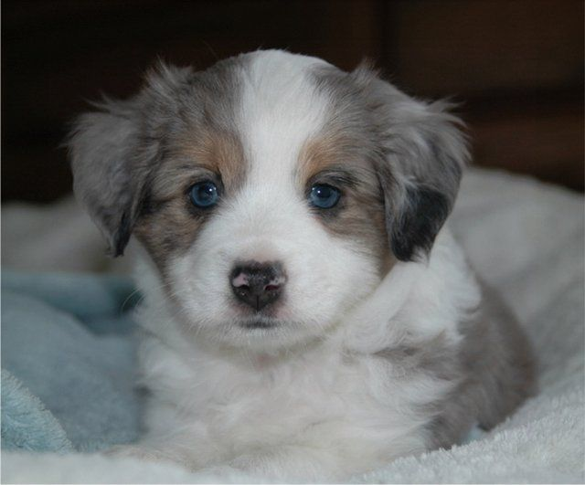 Cute Miniature Australian Shepherd Dog Puppy