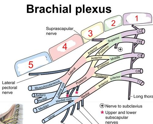 37 terms · Roots, Trunks, Divisions, Cords, Terminal Branches (Peripheral nerves), 1- Dorsal scapular, 2- Nerve to subclavius, 3- Long thoracic, 4- Suprascapular, 5- Lateral pectoral, 6- Musculocutaneous, 7- Median, 8- Medial pectoral, 9- Medial cut. Arm