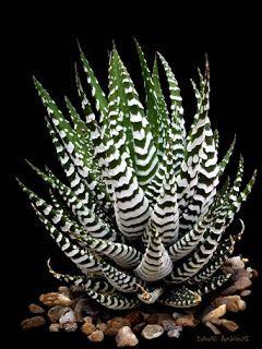 palabras que no riman: Haworthia fasciata. Flor.