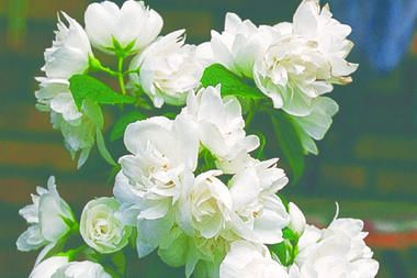 Snow White Sensation (sometimes sold as Snow White Fantasy). known for its scent and beauty and it blooms twice!