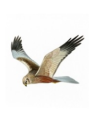 The largest of the harriers, it can be recognised by its long tail and light flight with wings held in a shallow V. It is distinguishable from other harriers by its larger size, heavier build, broader wings and absence of white on the rump. Females are larger than males and have obvious creamy heads. Its future in the UK is now more secure than at any time during the last century but historical declines and subsequent recovery means it is an Amber List species. Overview Latin name Circus…