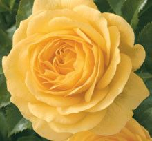 Julia Child floribunda rose. This Is my first year to have this rose in my garden. It is supposed to be highly disease resistant and so far it is. Since today is the anniversary of her birthday, I thought it would be a great time to pin the Julia Child rose!