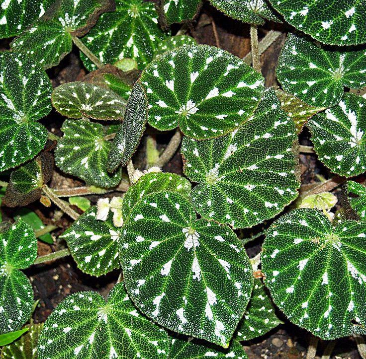 Perfect Begonia pustulata Raimond Spekking CC BY SA via Wikimedia Commons