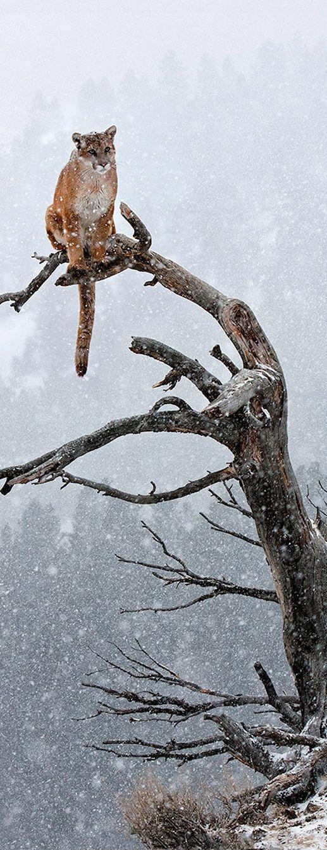 Winter Cougar  | The Wilderness Way Adventure Resort