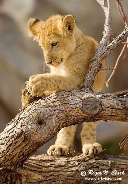 Lion cubs | Animals Zoo Park: Cheetah cubs, Lion cubs Pictures