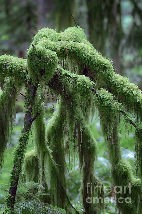 forest,trees,nature,beauty,moss,ferns,cedars,hemlocks,pacific rim,old trees,hdr,tall trees,shrubs,designers,brown,green,wood,wilderness,realism,landscape,rainforest,british columbia,tempered forest,