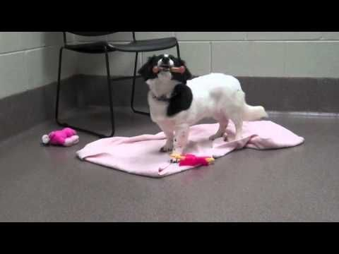 Violet at 3-month-old Border Collie Corgi mix available for adoption at WHS-Ozaukee Campus! - YouTube