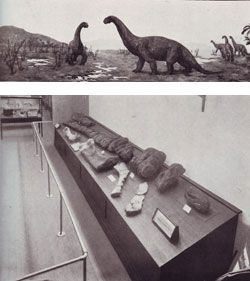 Fig. 11. (below) Dinosaur display in the Queensland Museum, 1929 and (top) painting by Douglas S Annand     Plate 29 from Heber A Longman, 'Palæontological Notes: Rhoetosaurus brownei', Memoirs of the Queensland Museum, 1929, facing p. 250