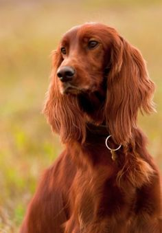Irish Setter Puppies on Pinterest | Irish Setter Dogs, Gordon ...