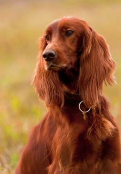 Irish Setter Puppies on Pinterest | Irish Setter Dogs, Gordon ...