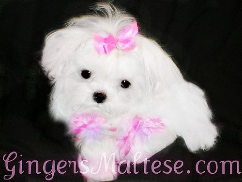 Maltipoo Puppies For Sale Maltese Poodle In Grayson Georgia