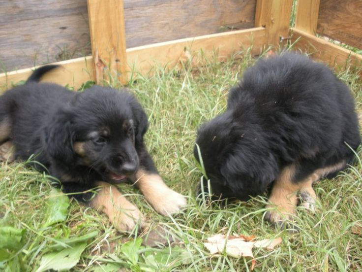 english shepherd puppies | Think I will just rest here ...