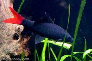 Peixes Ornamentais: Labeo Bicolor