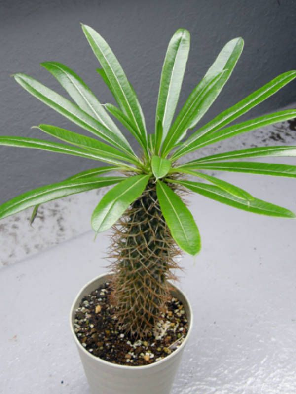 Pachypodium lamerei (Madagascar Palm, Club Foot) → Plant characteristics and more photos at: http://www.worldofsucculents.com/?p=1466