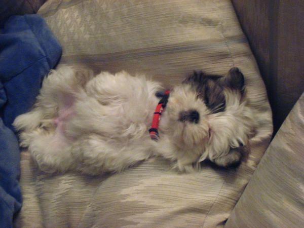 Small Dog Breeds - Shih Tzu - News - Bubblews