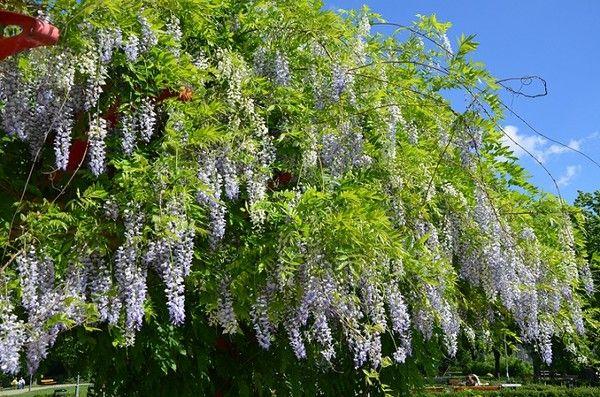 Glicynia chińska, słodlin, wisteria - uprawa, pielęgnacja i przycinanie
