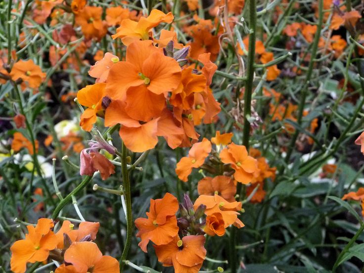Erysimum Apricot Twist. Flowers all year long until the