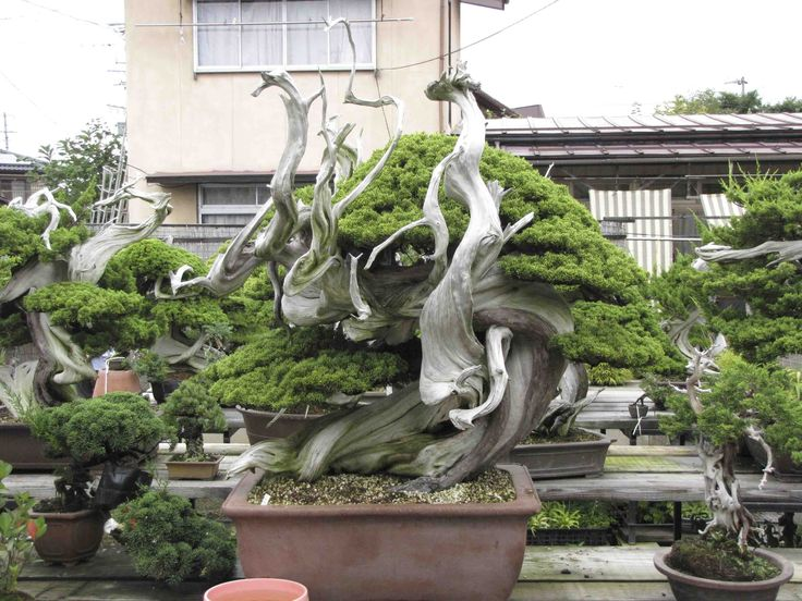 Famous bonsai google search bonsai pinterest for Famous bonsai trees
