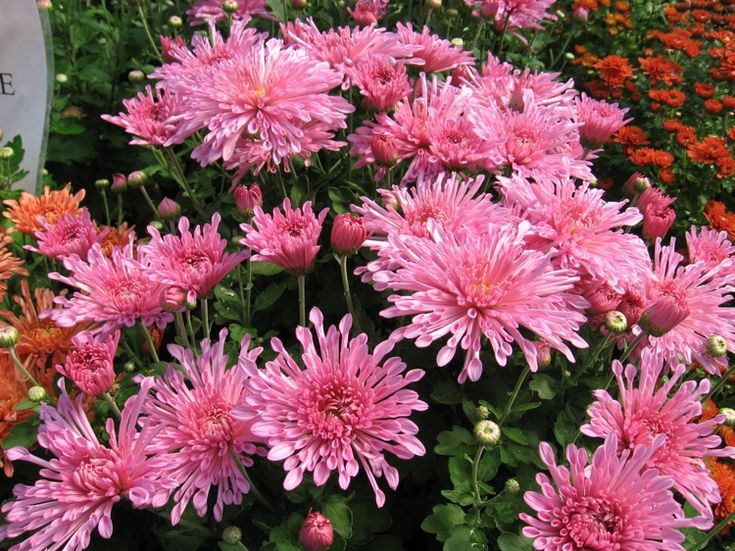 17 Best Images About Garden Mums Cold Hardy On 400 x 300