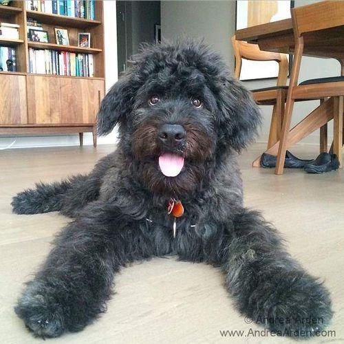 Dutch the Bouvier des Flandres Puppy ☺. ☺