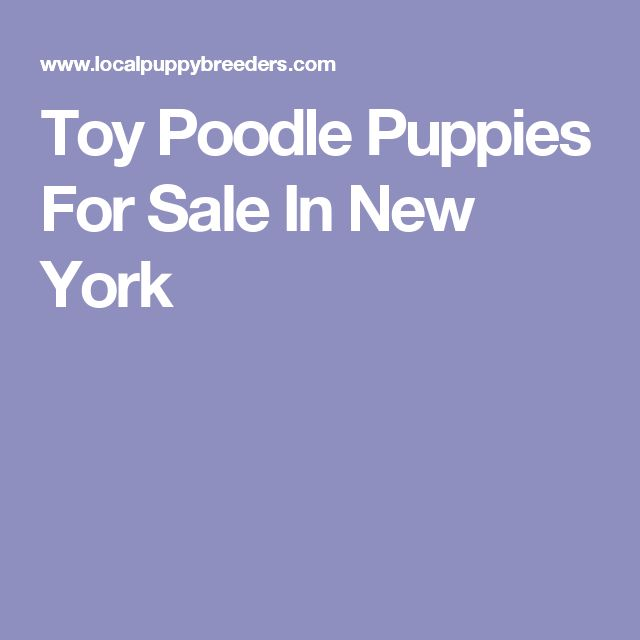 Toy Poodle Puppies For Sale In New York