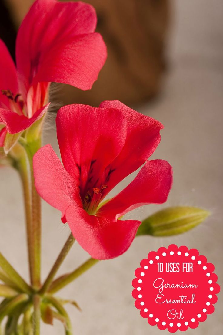 Geranium oil is the essential oil with the sweet and flowery name, but I can assure you it's no lightweight! Geranium essential oil has many uses for both health and …