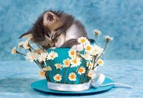 Обои котенок, спит, чашка, цветы, ромашки, кот