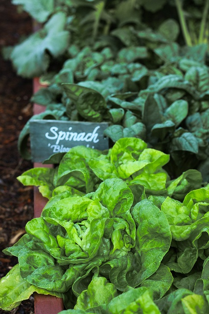 Spinach in the Obama's garden #WHPhotoWalkWhite House
