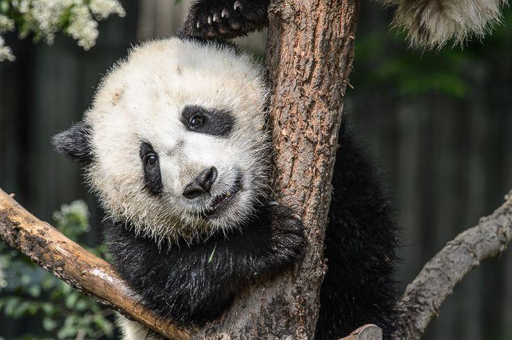 Giant Panda cub, Chengdu Research Base of Giant Panda Breeding.