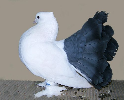 List of Pigeon Breeds | Blue Tailmarked Indian Fantail Pigeon. ENCYCLOPEDIA OF PIGEON BREEDS