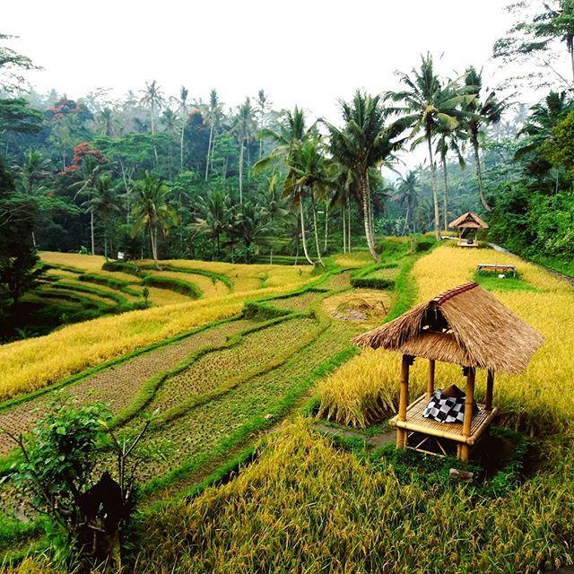 """Рисовые терассы прекрасны всегда и везде. The rice terraces are beautiful always and everywhere. #Rice, #Bali, #Indonesia, #walk, #temple, #monastery, #travel, #hitchhiking, #blog, #hike, #field, #aroundtheworld, #homatravel, #бали, #индонезия, #прогулка, #храм, #монастырь, #путешествие, #автостоп, #мойпуть, #блог, #поход, #поле, #вокругсвета, #travelblogger, #trip, #myway"" by @homatravel (homatravel). #turismo #instalife #ilove #madeinitaly #italytravel #tour #passportready #instavacation…"