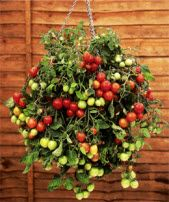 cherry tomatoes grow well in a hanging basket