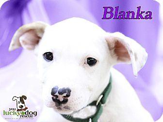 Boxer Mix Puppy for adoption in Alpharetta, Georgia - Blanka