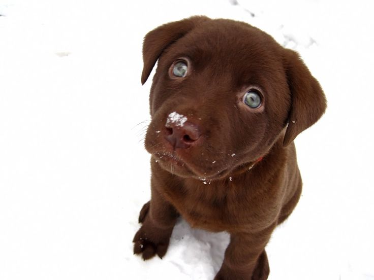 Dogs, Chocolate Labs, Puppies Eye, Pets, Blue Eye, Adorable, Labs Puppies, Chocolates Labs, Animal
