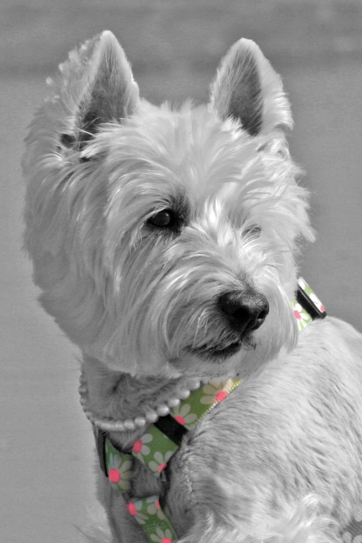 West Highland White Terrier Breeders Qld 220 best images about ...