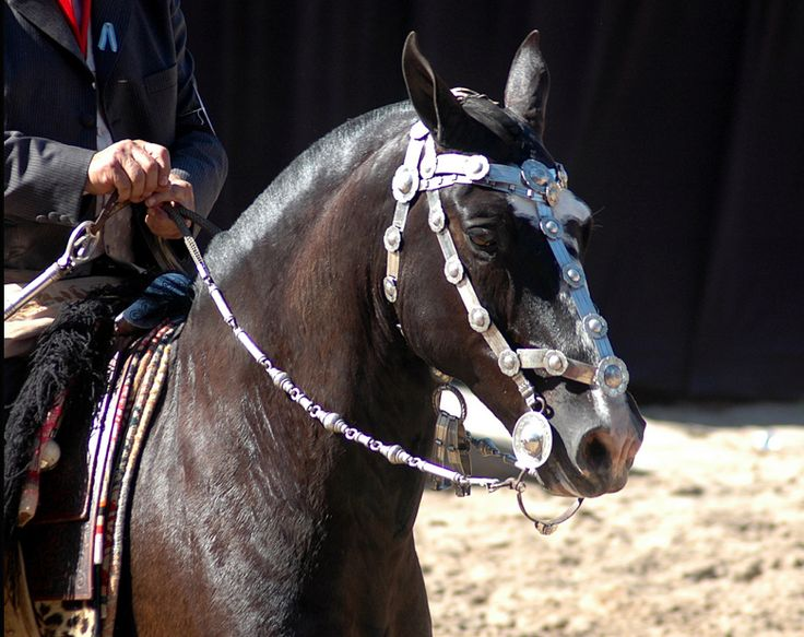 Horse In Latin Criollo Horse Tack in ...
