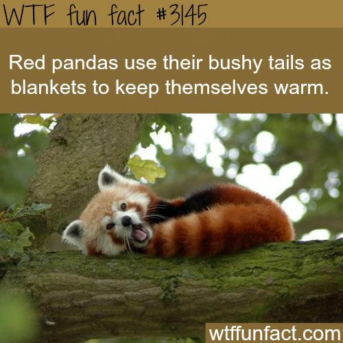 Red Panda's tail -  WTF fun facts