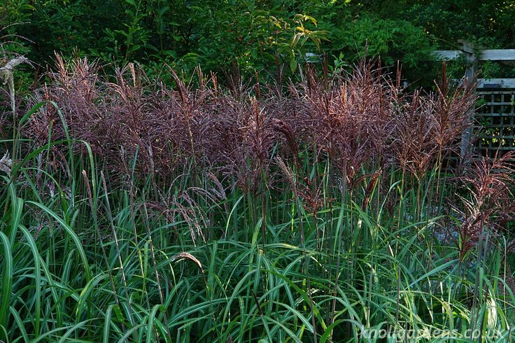 Miscanthus Malepartus | Knoll Gardens | Ornamental Grasses and Flowering Perennials