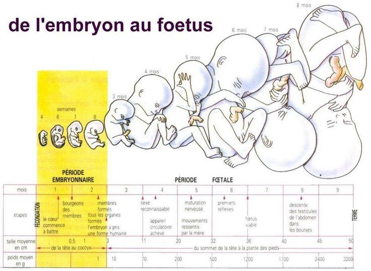 Evolution grossesse bébé foetus embryon