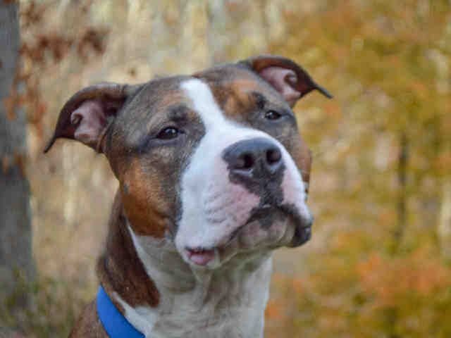 Bullboxer Pit Dog For Adoption In Pittsburgh Pa Adn 741350 On