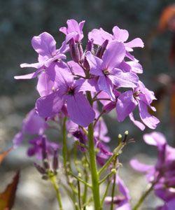 Hesperis matronalis - Nachtviole 3,1