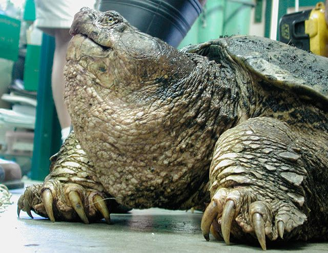 Snapping turtle. Look at its nails (not so well adapted to that kind of soil...)